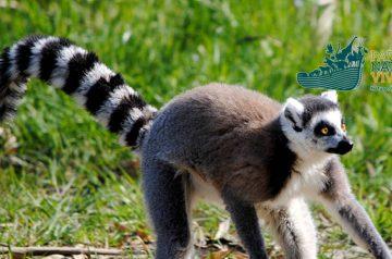 Keeper per un giorno: lemure al Parco Natura Viva
