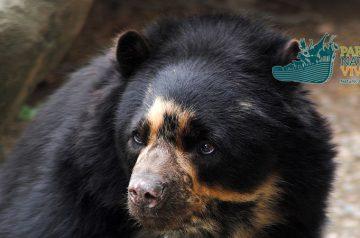 Keeper per un giorno: orso andino e crisocione