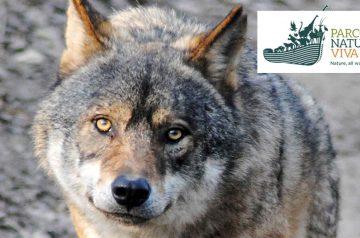 Keeper per un giorno - lupo grigio