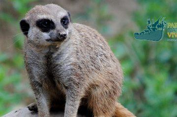 Keeper per un giorno: suricati e cercopitechi