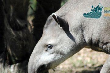 Giornata Internazionale del Tapiro al Parco Natura Viva