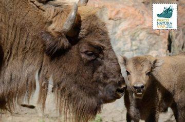 Keeper per un giorno - bisonti europei e renne