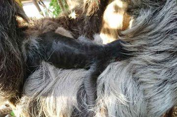 Mamma Wendy e la sorpresa del bradipo neonato