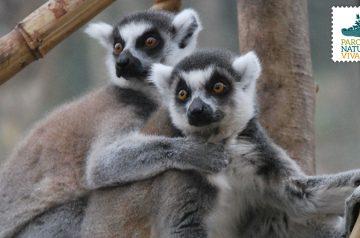 Keeper per un giorno - lemuri