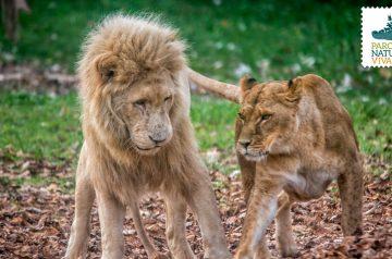 I leoni al Parco Natura Viva