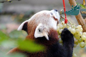 Keeper per un giorno - panda rosso