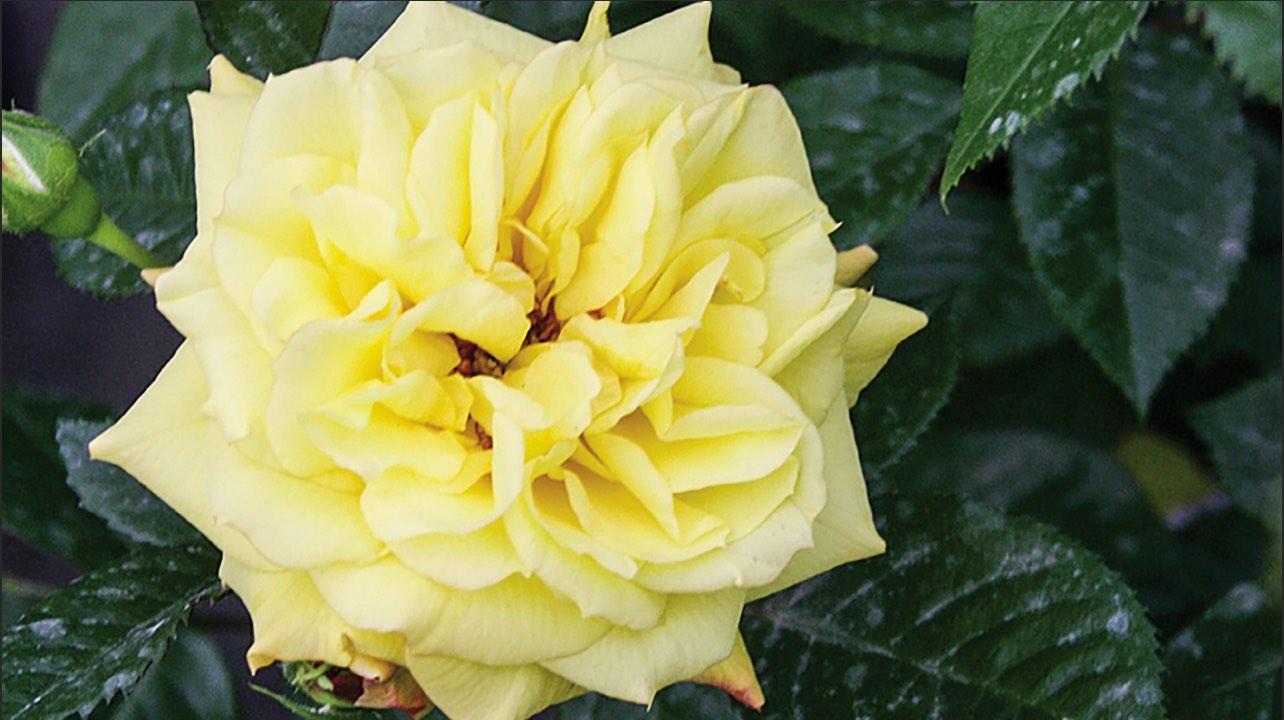 Rose Rampicanti Senza Spine mostra delle rose | carnet verona : carnet verona