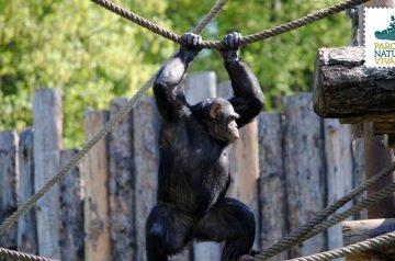 Keeper per un giorno - scimpanzé