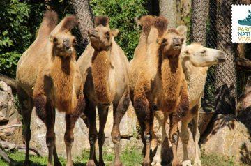 Keeper per un giorno - cammelli e cavalli Przewalski