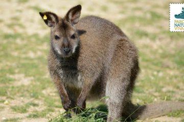 Keeper per un giorno - wallaby