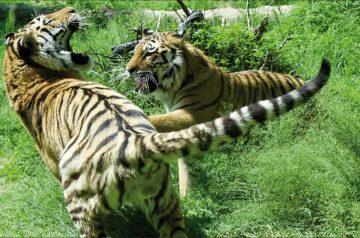 Sua maestà la tigre, lotta contro l'estinzione
