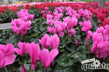 Mostra di ciclamini e crisantemi a Floricoltura Quaiato