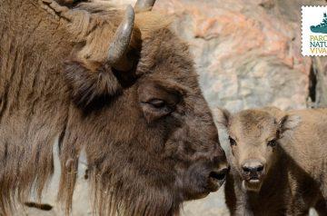 Keeper per un giorno - bisonti europei