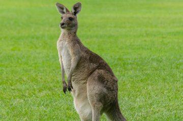 Keeper per un giorno - canguri e wallaby