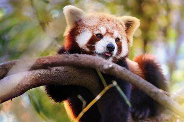 Keeper per un giorno - panda minori