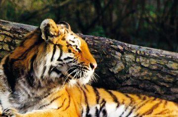 Giornata internazionale della tigre al Parco Natura Viva
