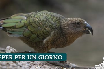 Keeper per un giorno - kea e wallaby