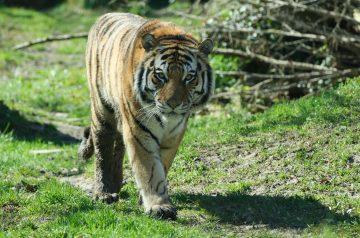 Parco Natura Viva - Una riapertura nel segno della tigre Botsman